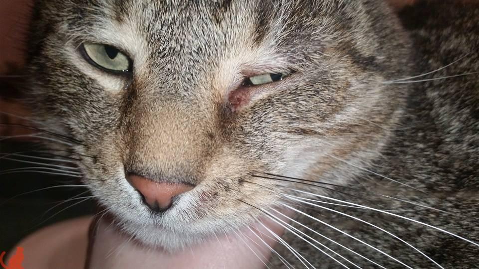 Третье веко у кошки причины лечение