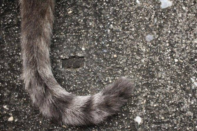 Из-за чего у кота может повиснуть хвост?