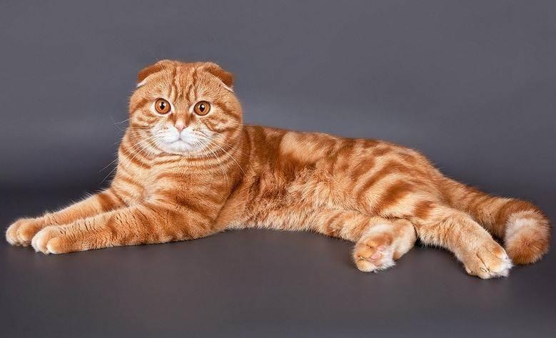 Какие особенности у шотландских вислоухих котят?