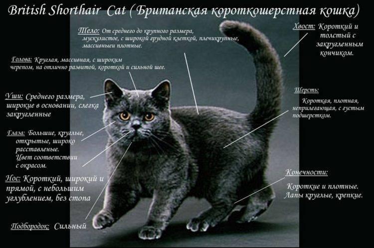 Вислоухие породы кошек