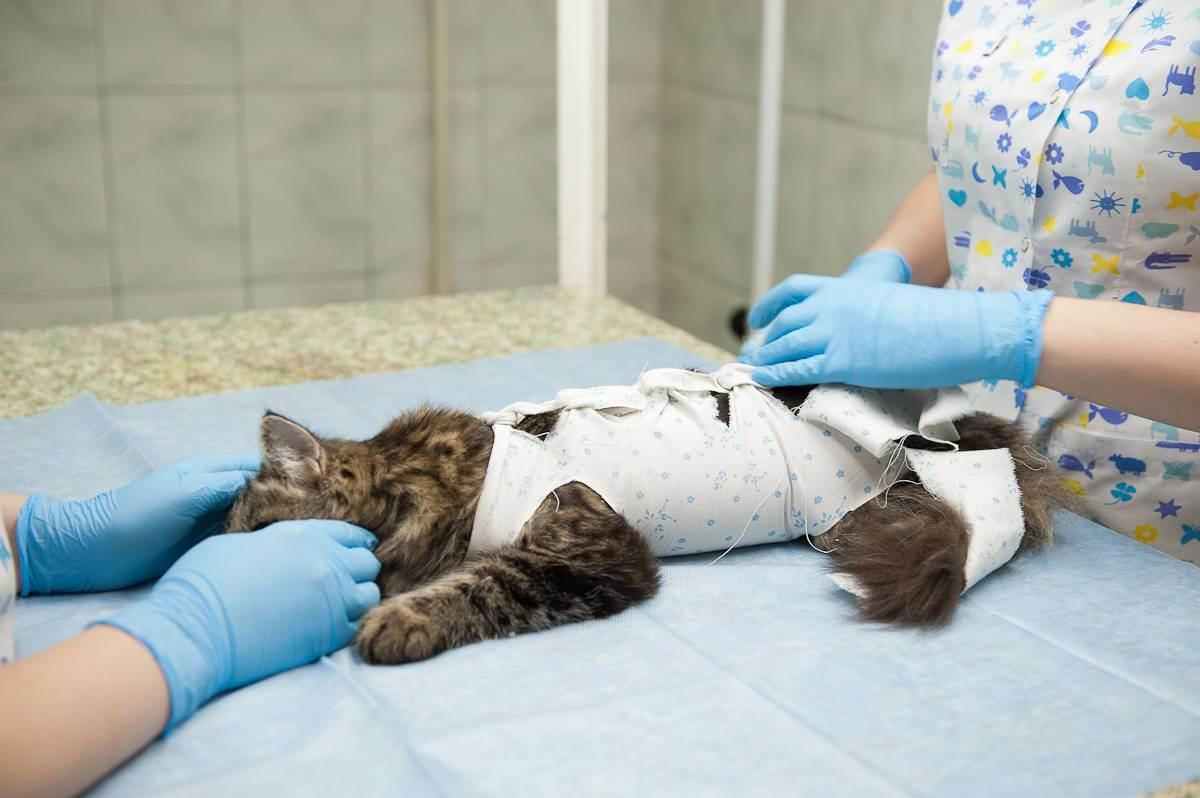 Когда лучше делать стерилизацию кошек?