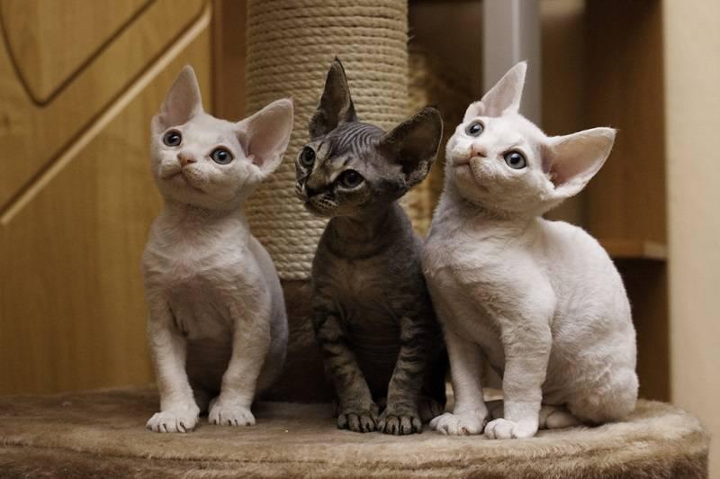 Гипоаллергенные породы кошек для людей - список названий с описаниями