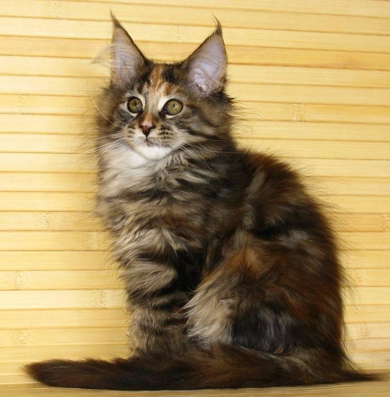 Сколько стоит котенок мейн куна, как купить породистое животное