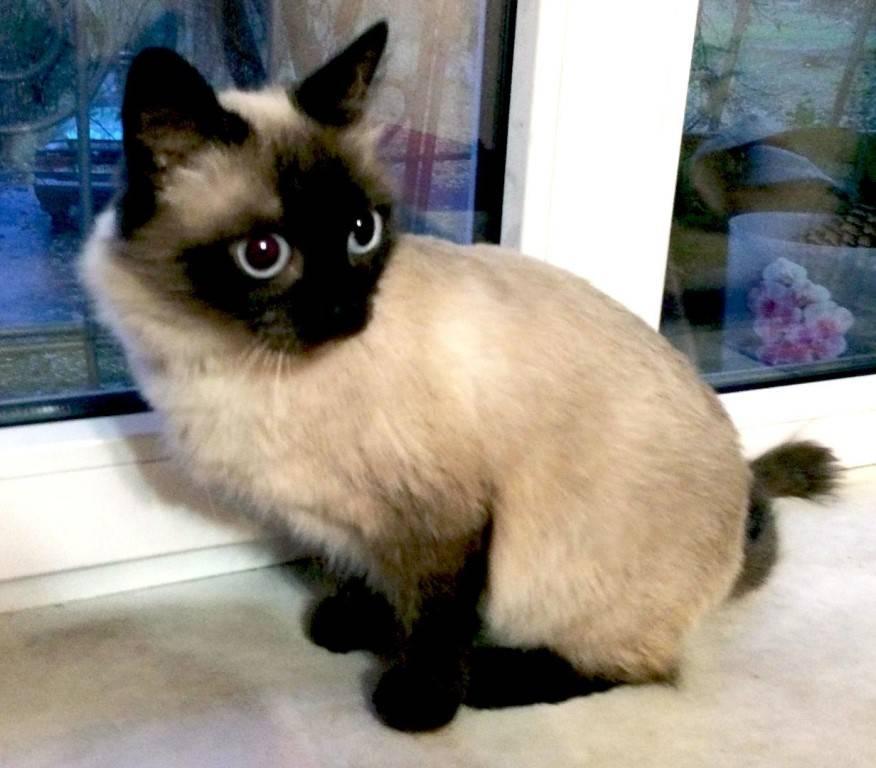 Подбираем имя котенку сиамской породы