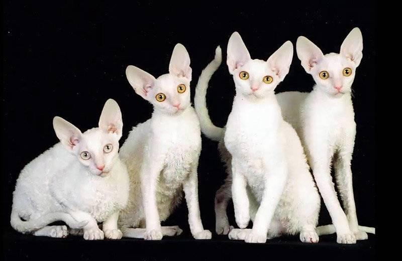 10 пород кошек, которые практически не линяют