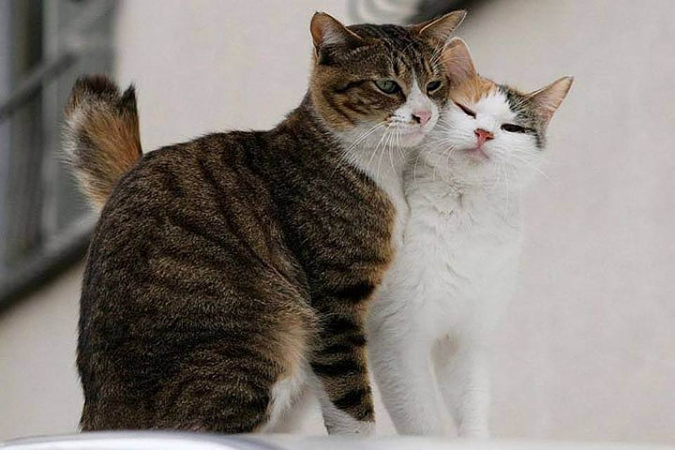 Как происходит кастрация котов: подготовка, наркоз, операция, уход