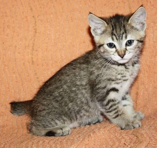 Кошки каких пород могут иметь полосатый окрас: фото и названия котов-полосатиков
