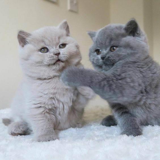 Уживутся ли вместе взрослая кошка и котенок?