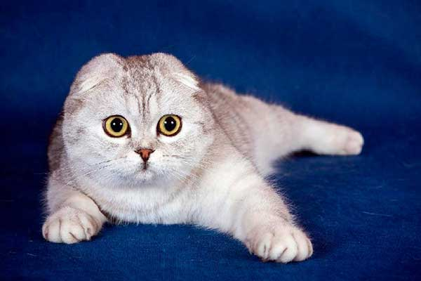 В какой период гуляют кошки. течка у шотландских кошек
