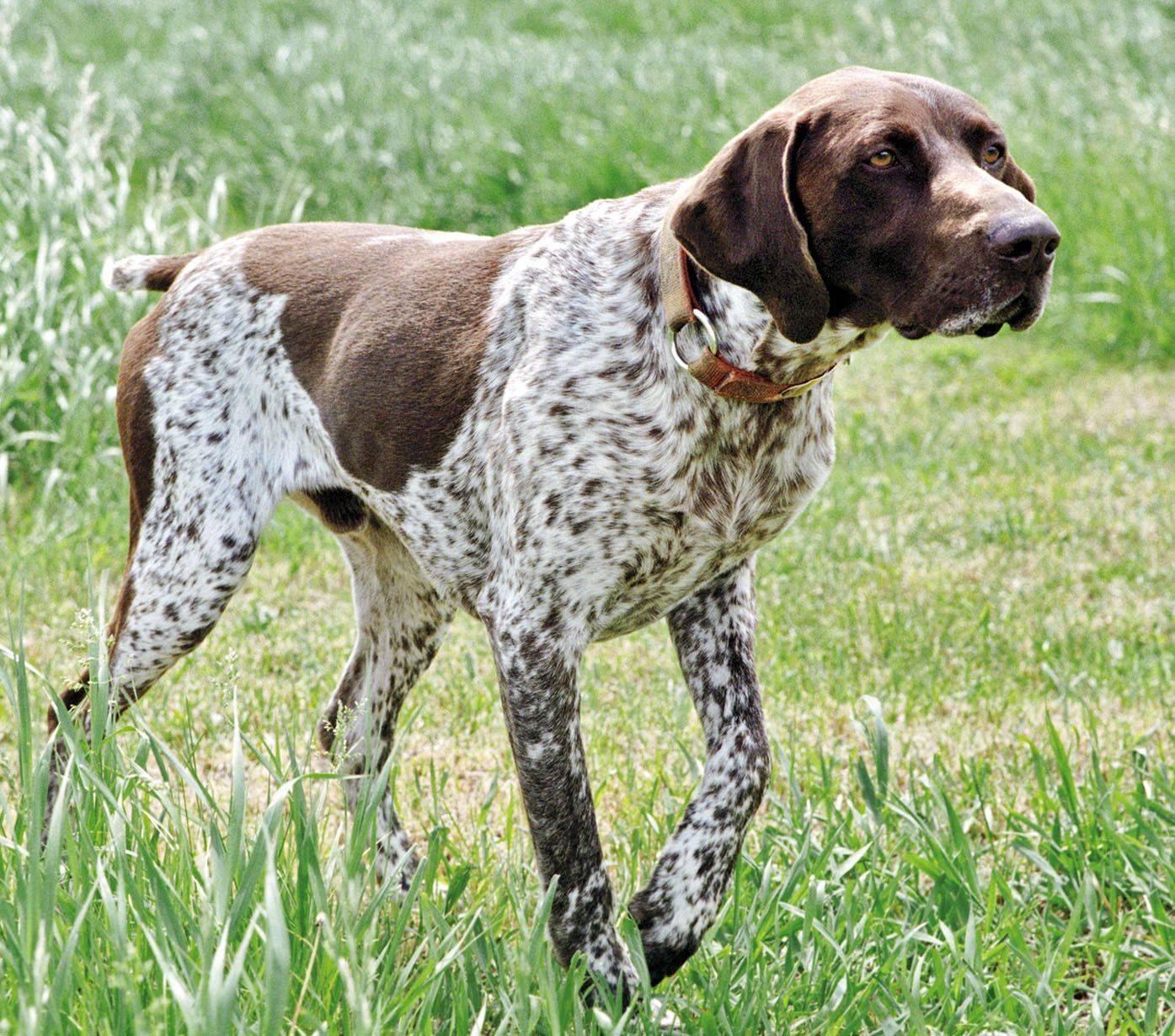 Породы охотничьих собак с фотографиями и названиями * маленькие и большие псы для охоты