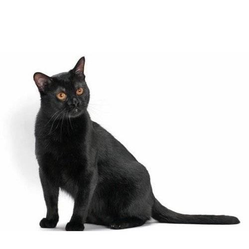 Бомбейская кошка – пантера в миниатюре