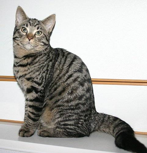 Кошки окраса табби: особенности рисунка на шерсти и список пород