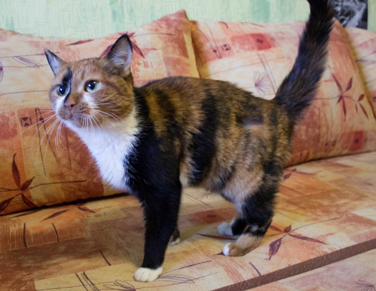 Трехцветная кошка в доме: приметы и суеверия
