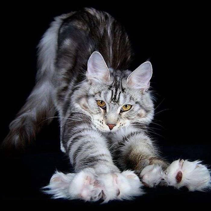 Кошка мейн-кун: стандарт породы в международных системах wcf, fife и tica