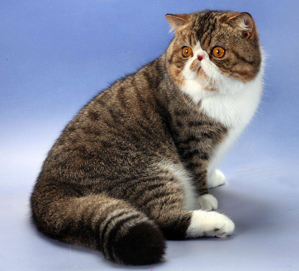 Китайская кошка ли хуа – экзотическая красавица из поднебесной