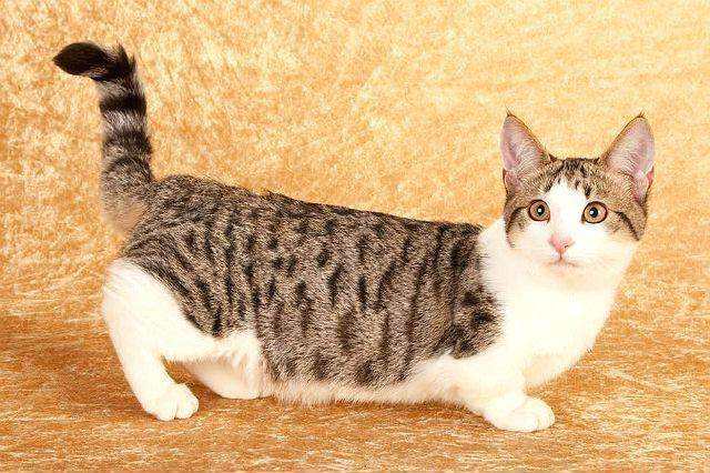 Кошки породы манчкин — описание, фото и цена коротколапых котят