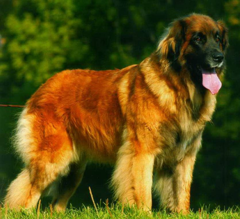 Леонбергер собака. описание, особенности, уход и цена леонбергера | животный мир