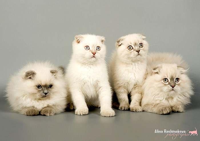 Содержание шотландской вислоухой кошки – советы и рекомендации