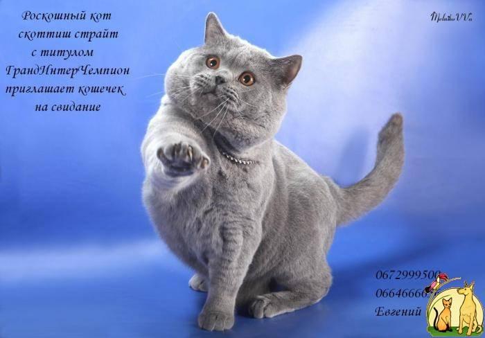 Шотландская прямоухая кошка (скоттиш-страйт): фото, описание, характер, советы по содержанию и уходу