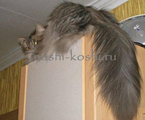 У кота болит основание хвоста: причины, признаки, лечение, профилактика