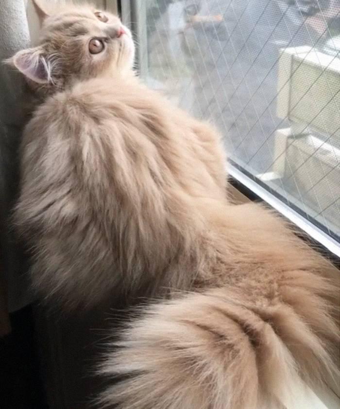 Породы кошек с коротким хвостом: особенности и характер удивительных домашних животных