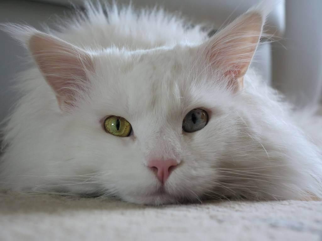 Как определить глухоту у кошек и что при этом делать