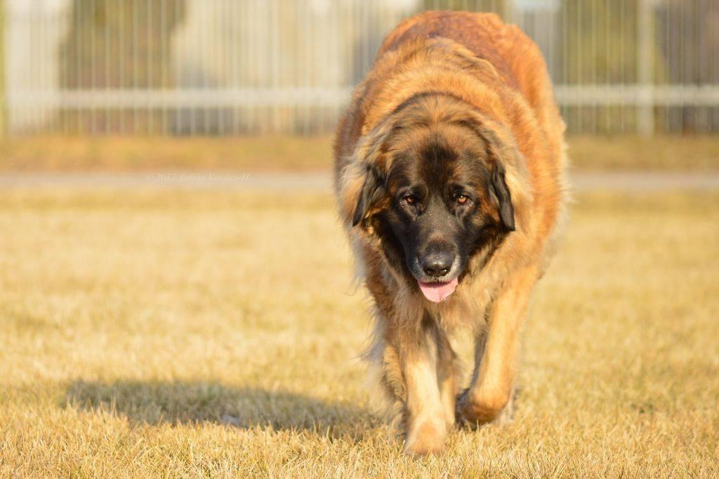 История собак леонбергеров, особенности внешности и характера породы