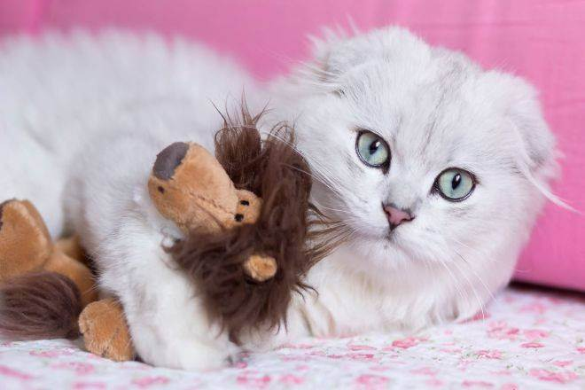 Хайленд-фолды: описание шотландской длинношерстной вислоухой кошки