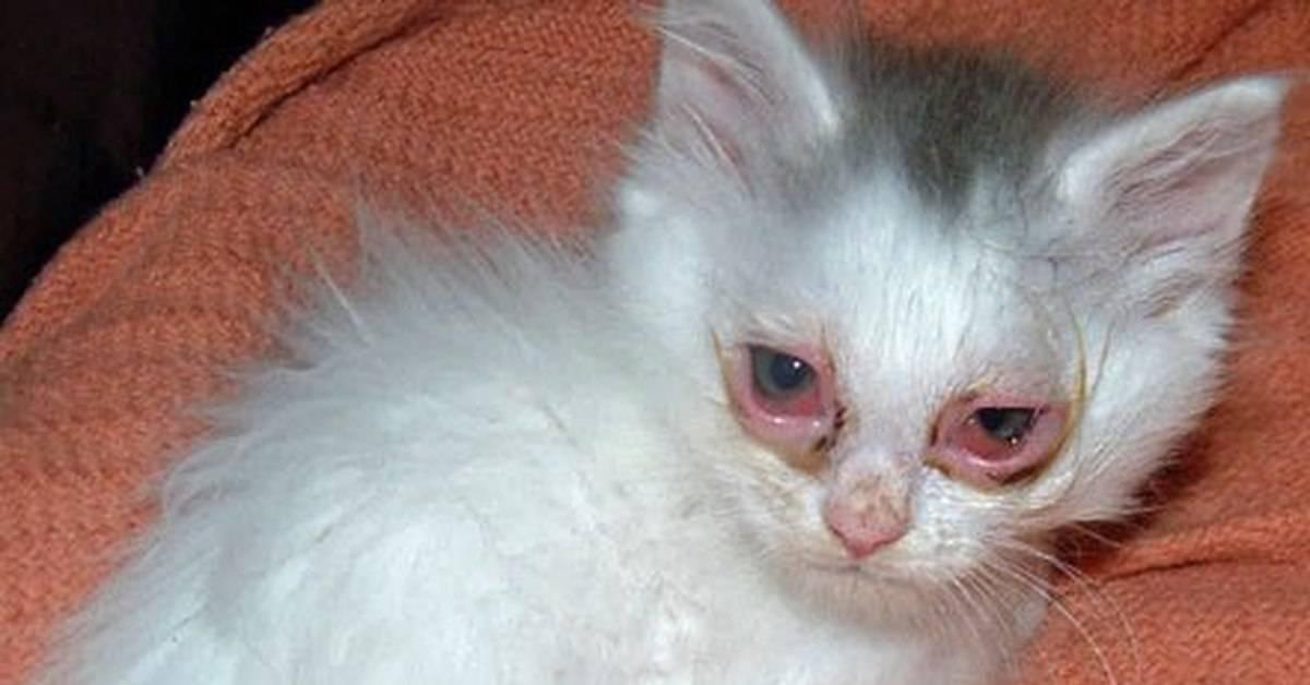 Почему у котенка гноятся глаза: 7 причин, что делать, если у котенка гноятся глаза, профилактика