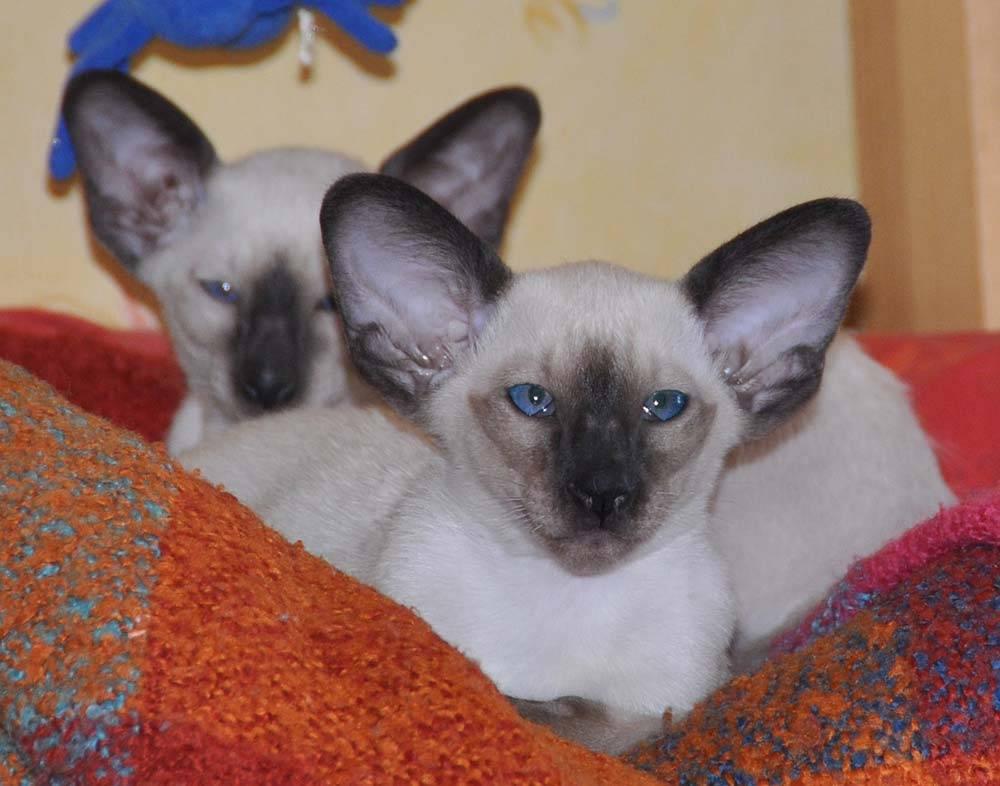 Сколько стоит мейн-кун. цена котенка породы мейн-кун