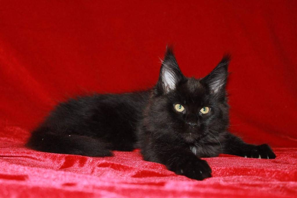 Мейн-кун черного цвета – особенности содержания и характеристки животного