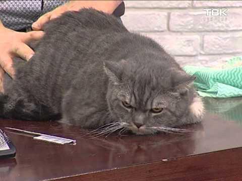 Кастрация, течка, вязка, беременность британских кошек