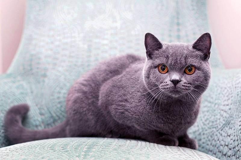 Чёрные британские кошки