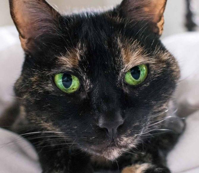 Черные коты – особенности окраса шерсти и цвета глаз, породы, интересные факты, мифы, приметы