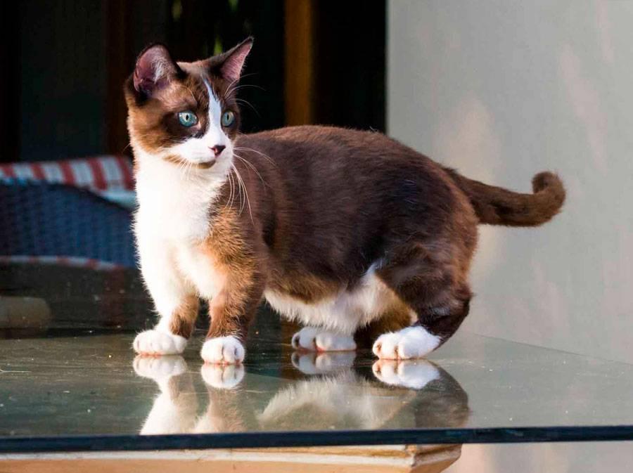Манчкин (54 фото): особенности кошек породы манчкин, характер котов с короткими лапами. описание коротколапых котят рыжего, черного и другого окраса