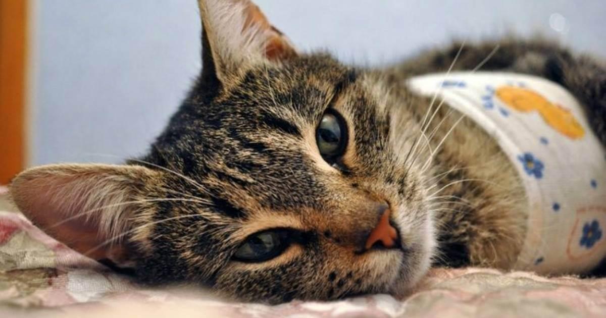 Восстановление кошки после стерилизации и уход за ней