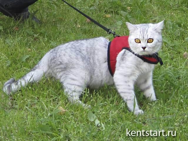 Шлейка для кошки: виды, тонкости выбора и правила приучения
