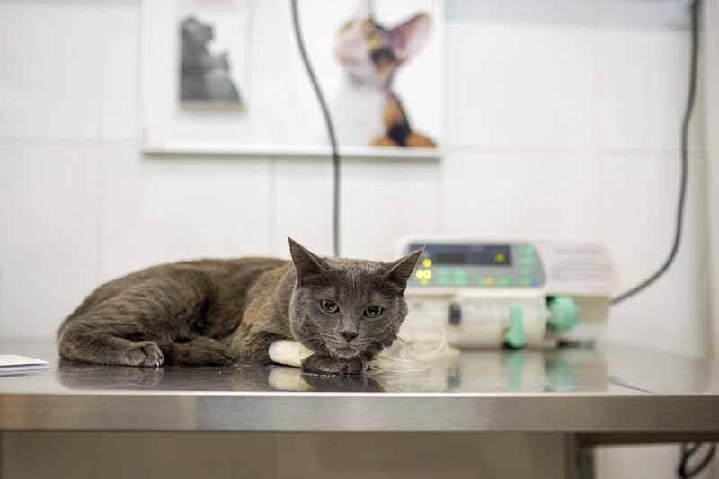 Как происходит кастрация кота без наркоза