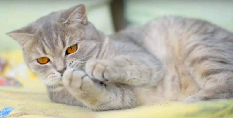 Кошечка гуляет. как часто бывает течка у шотландских кошек? особенности проведения вязки