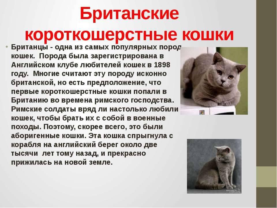 Британская порода кошек с фото, британская короткошерстная кошка, характер и описание породы