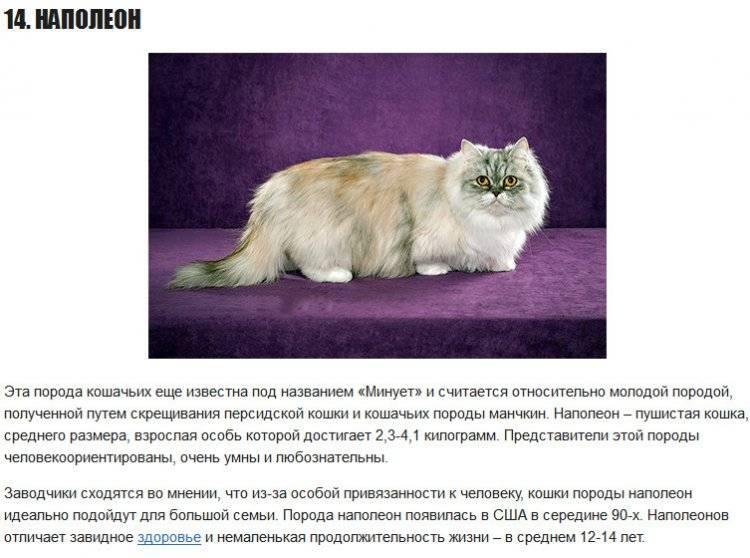 Китайская кошка: описание породы и характера
