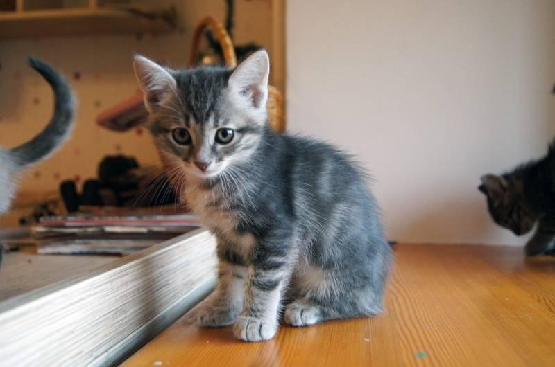 Клички для серых котов и кошек - более 300 имен для котенка мальчика и девочки