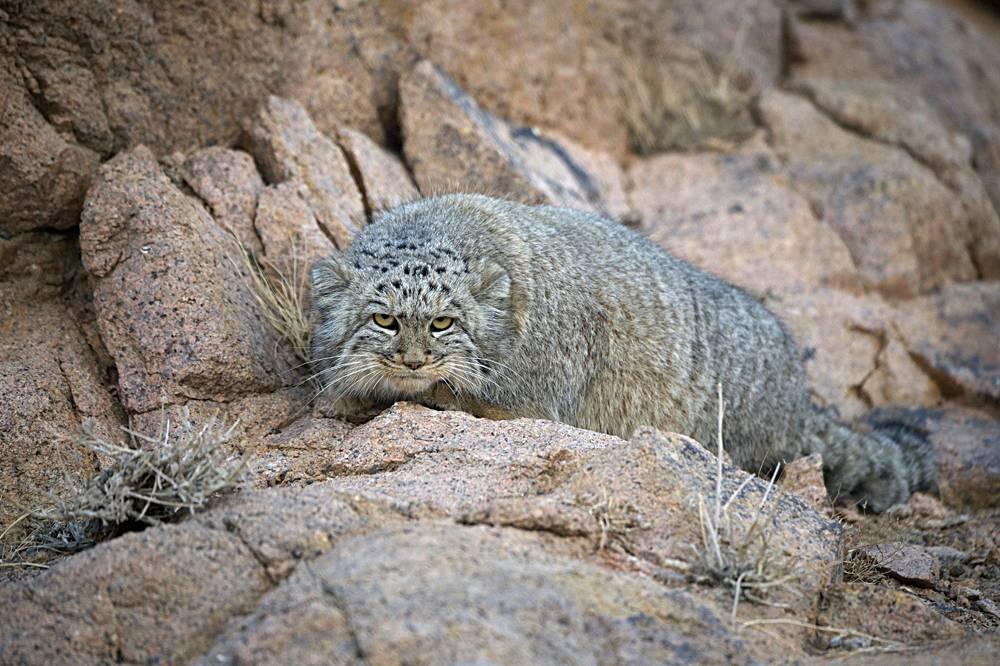 Кот манул: его повадки, образ жизни, места обитания, видео, фото