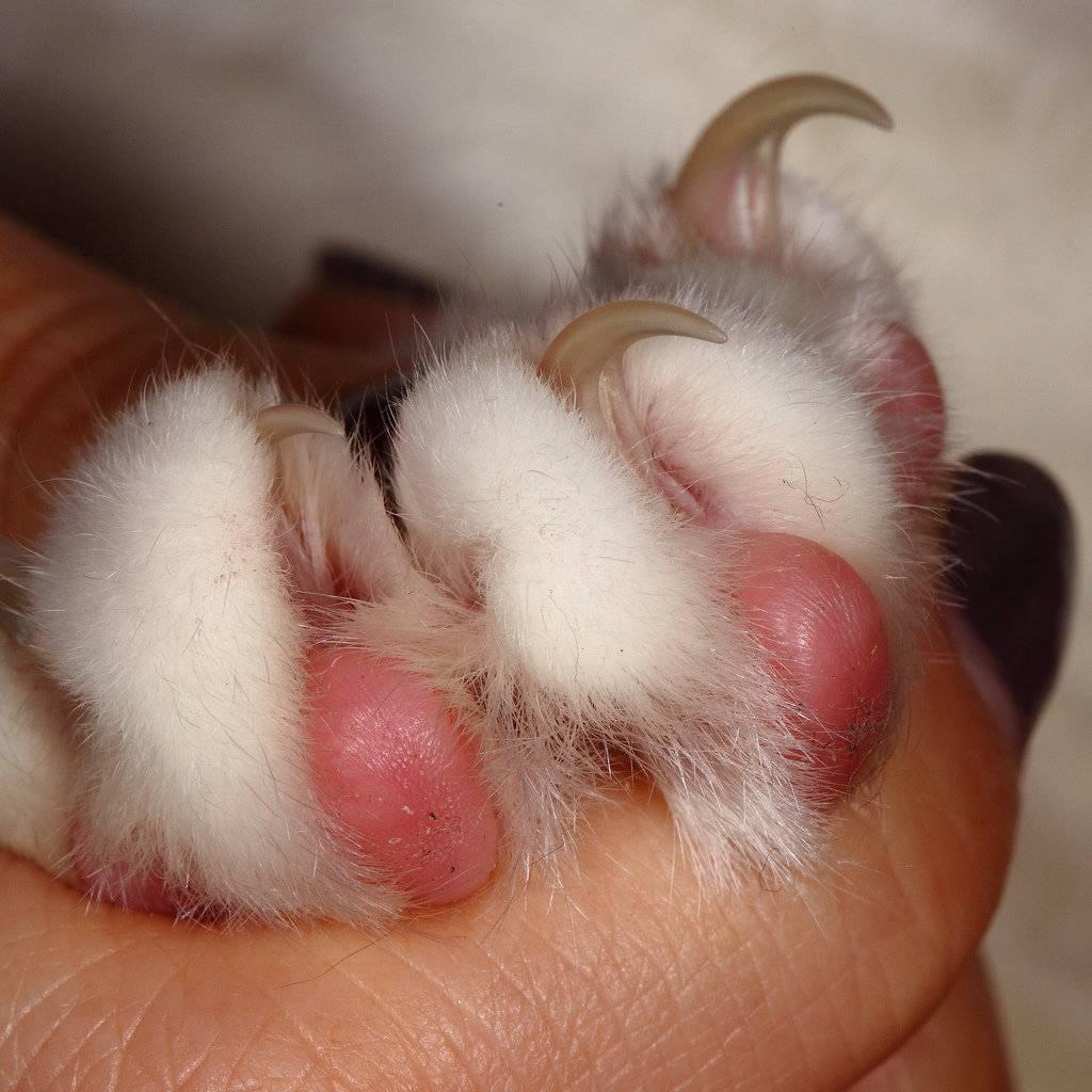 Как правильно стричь когти кошке и коту когтерезкой?