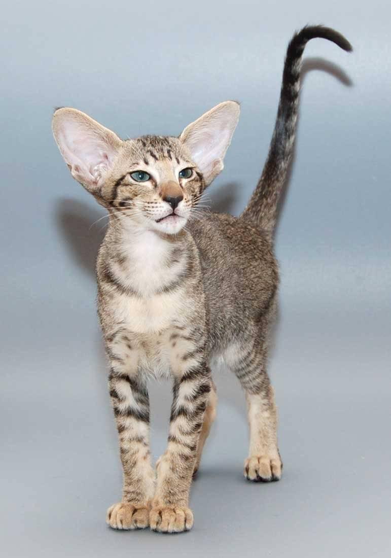 Порода кошек с большими ушами: как называются ушастые лопоухие коты с вытянутой мордой?