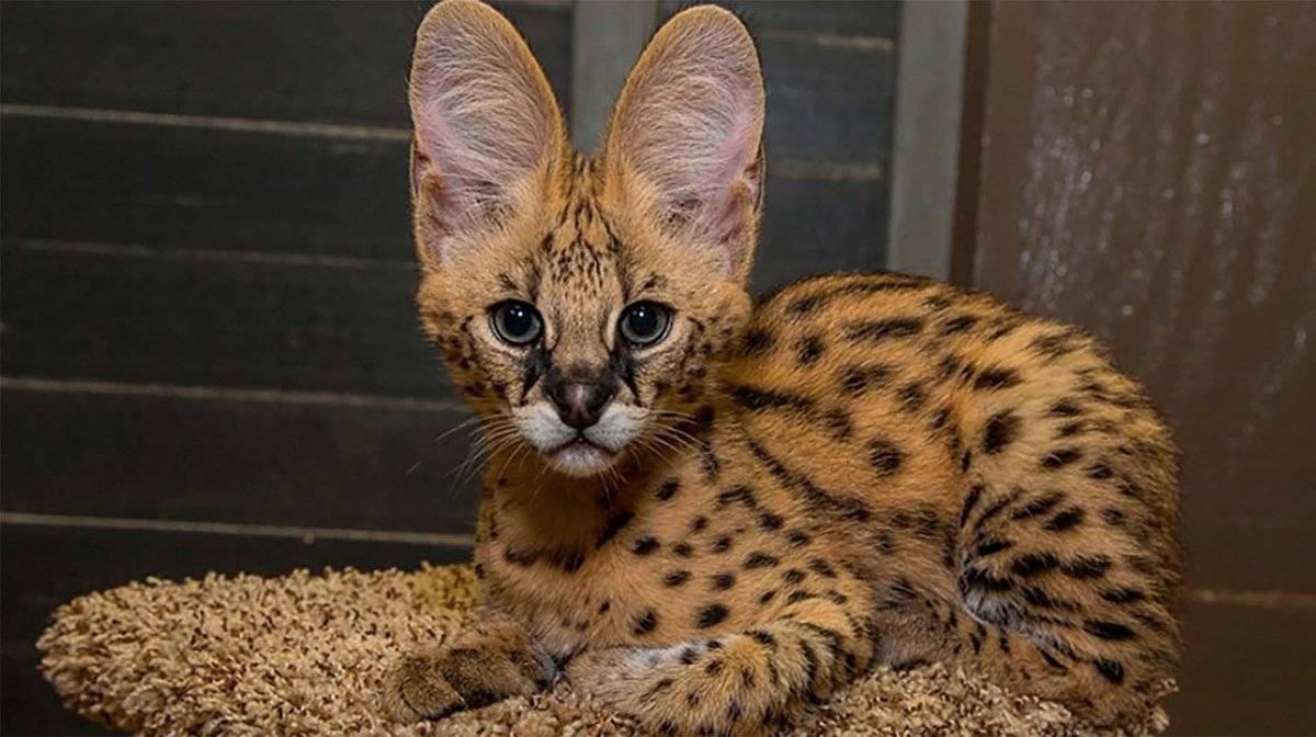 Порода кошек саванна – дорогие домашние сервалы