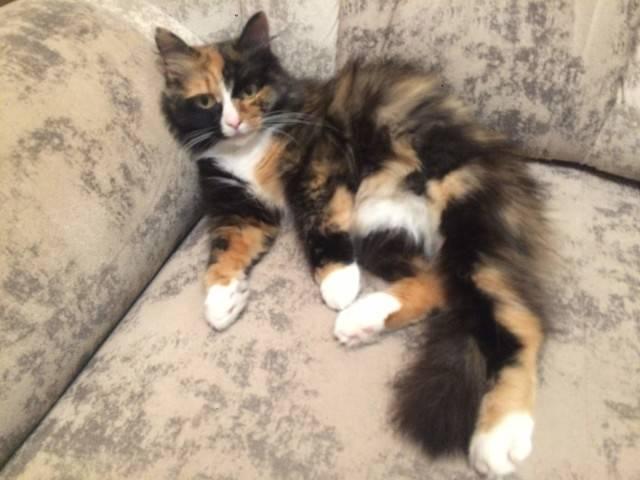 Трехцветные кошки приносят счастье: интересные факты и приметы - досуг - животные на joinfo.com
