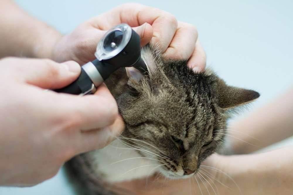 У кота болит ухо причины и лечение