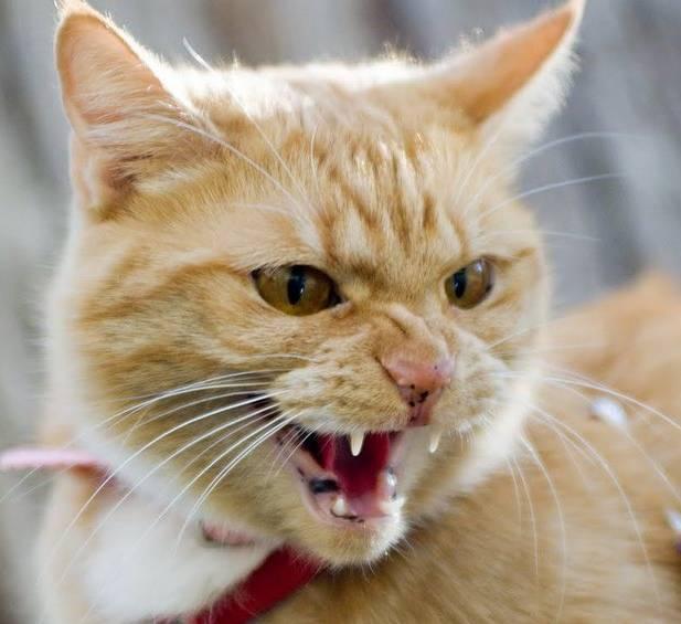 Почему шипит кошка, и что это означает?