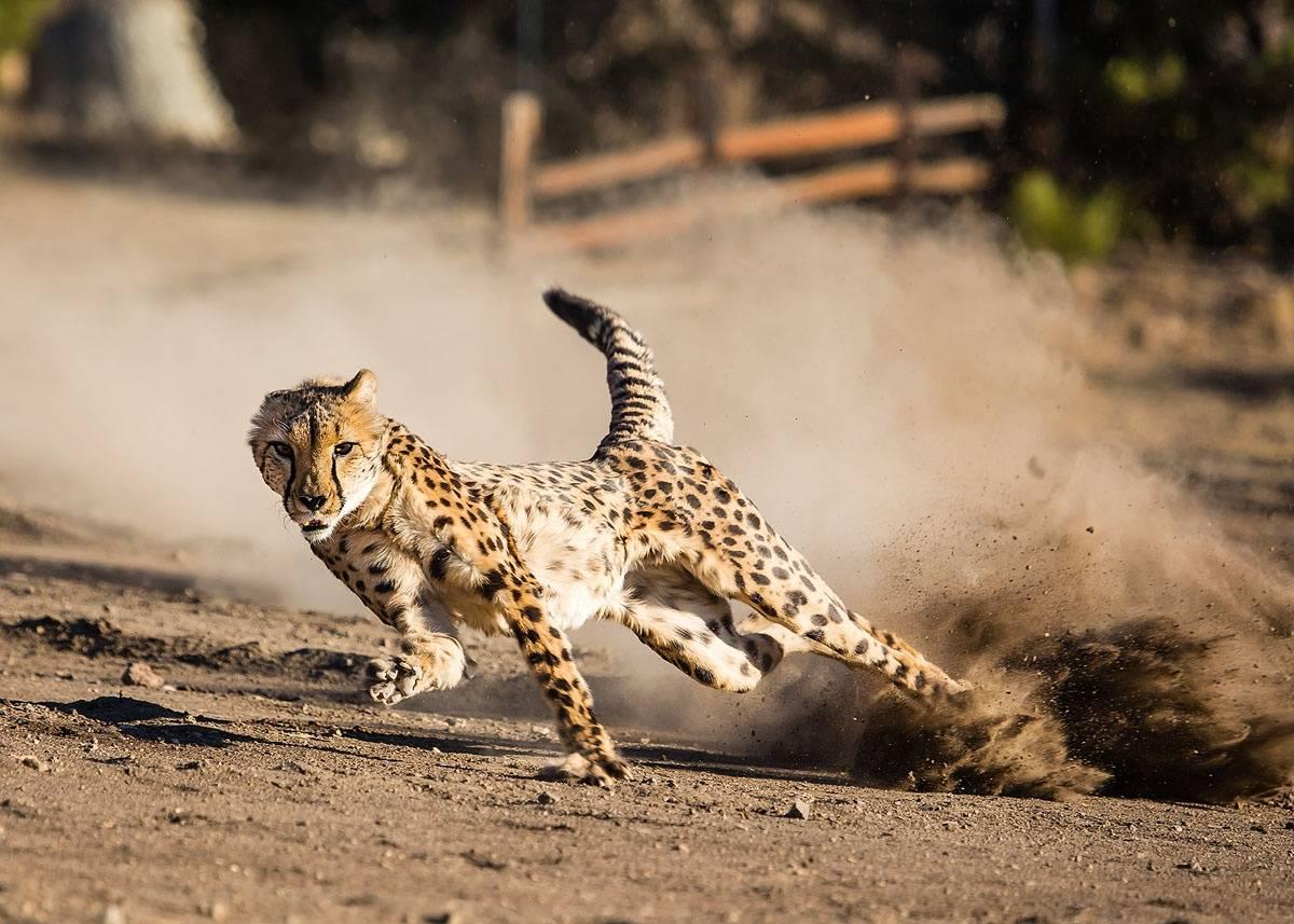 Самые быстрые животные в мире - hi-news.ru